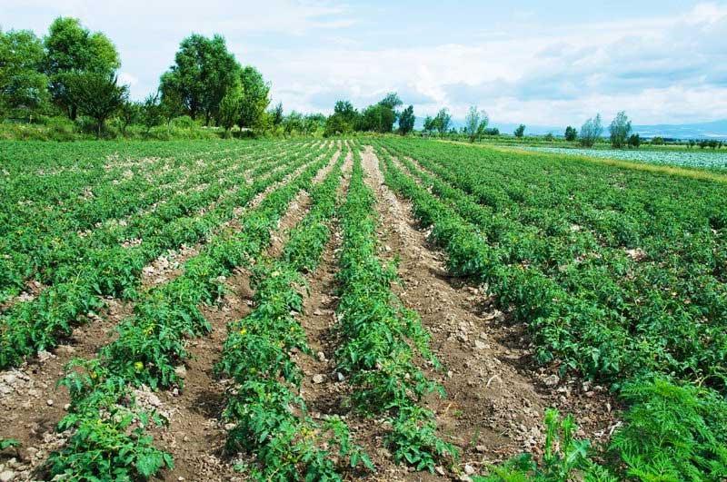 آبیاری کرتی در گوجه فرنگی